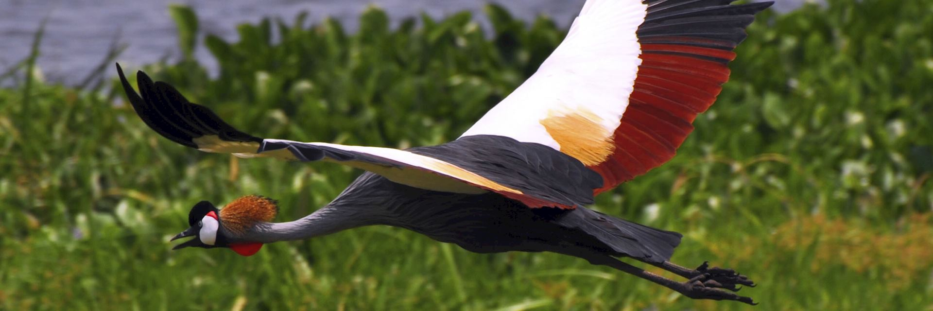 A crowned crane