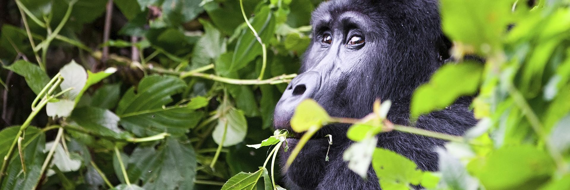 Male silverback, Bwindi Impenetrable Forest