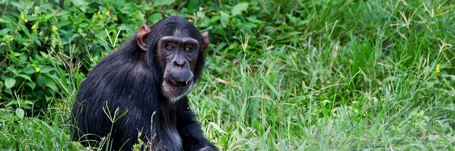 Chimpanzee, Ngamba Island Chimpanzee Sanctuary