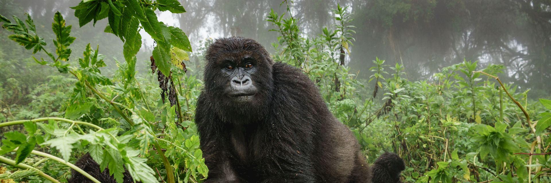 Gorilla in Mgahinga National Park