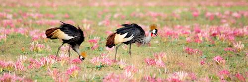 Crowned cranes in South Luangwa National Park