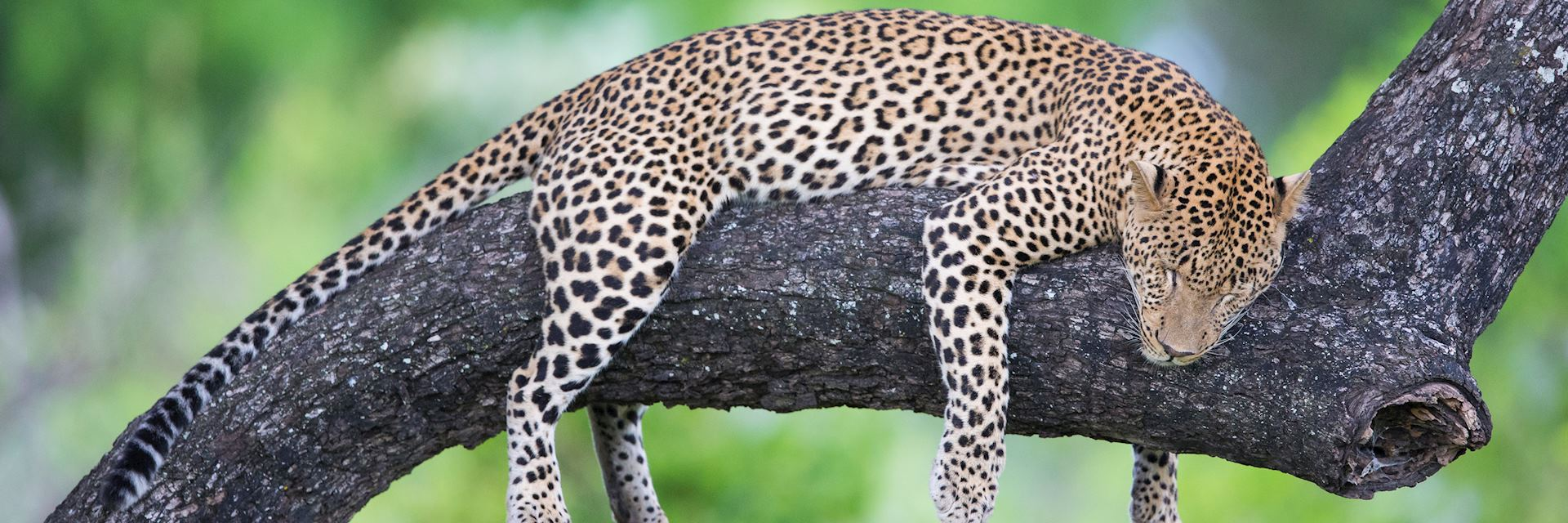Leopard in Kafue National Park