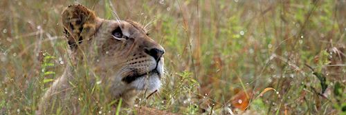Lioness in South Luangwa National Park