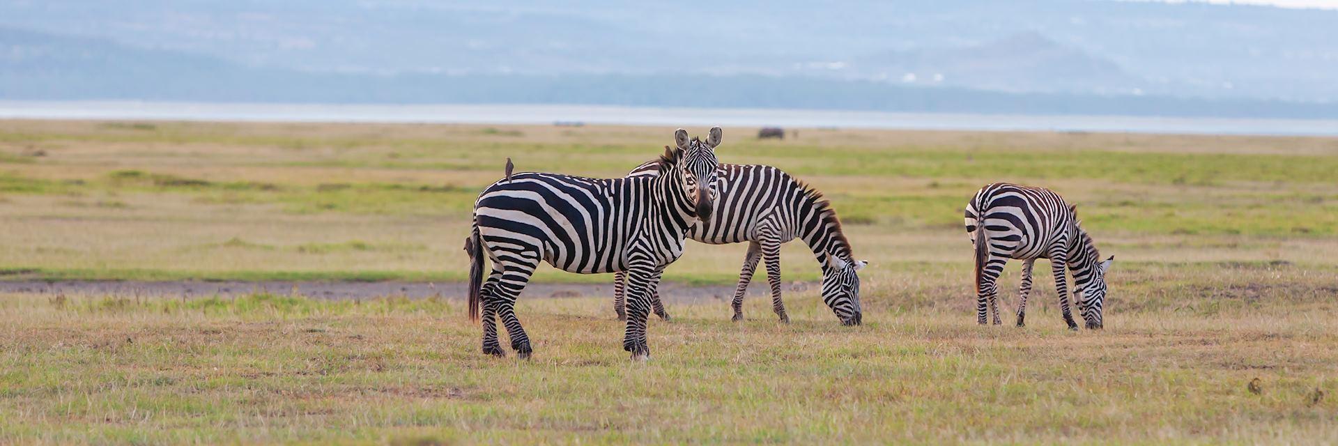 Giraffe in Zambia