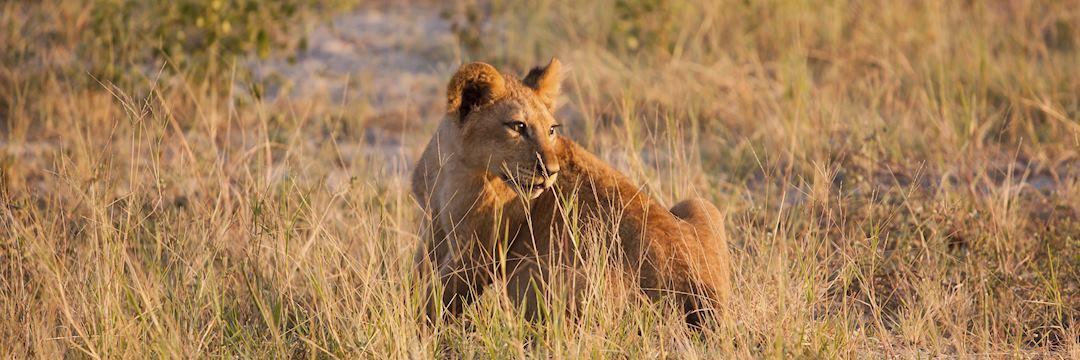 Lion cub, South Luangwa National Park