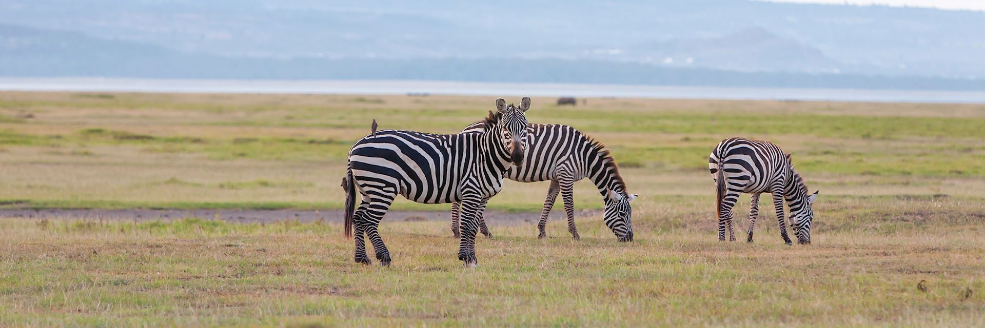 Zebra grazing in one of Zambia's national parks
