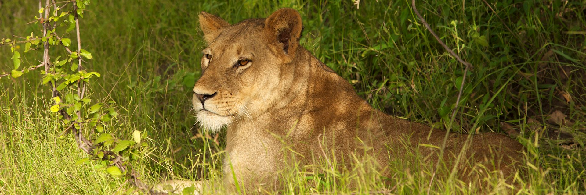Lioness in North Luangwa National Park