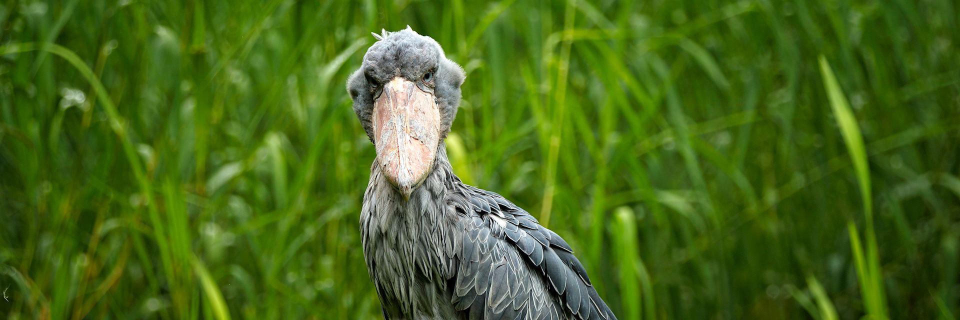 Shoebill, Bangweulu Wetlands