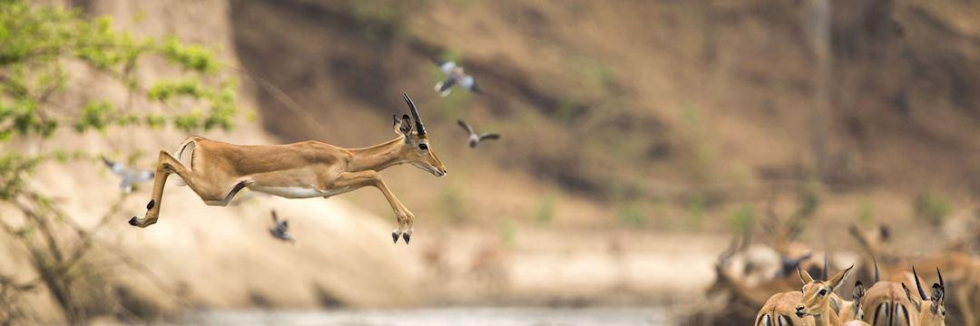 Impala, Hwange National Park