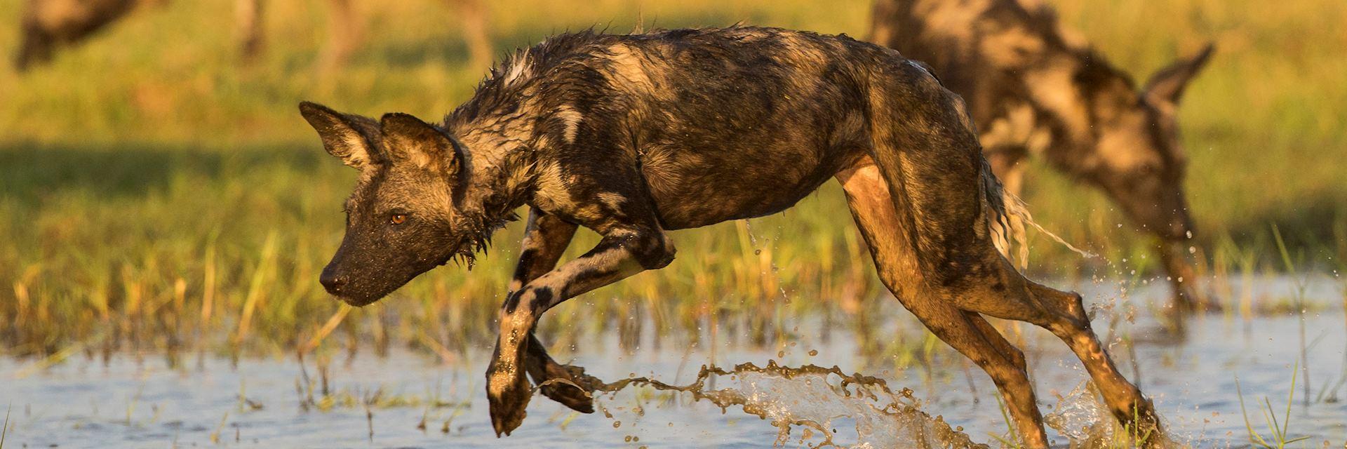 Wild dogs in Zimbabwe