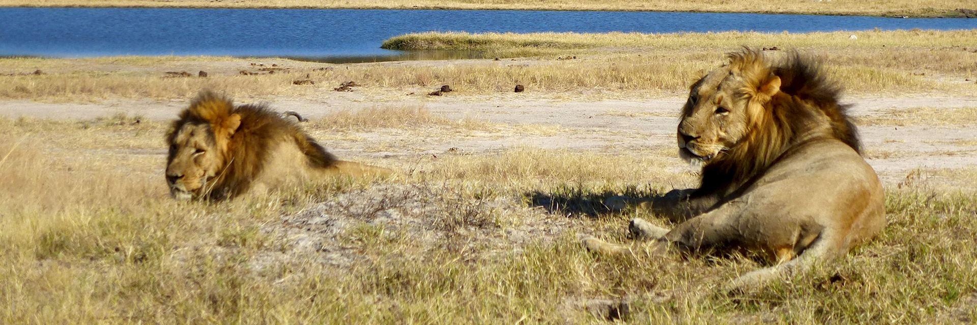 Male lion in Hwange National Park, Zimbabwe