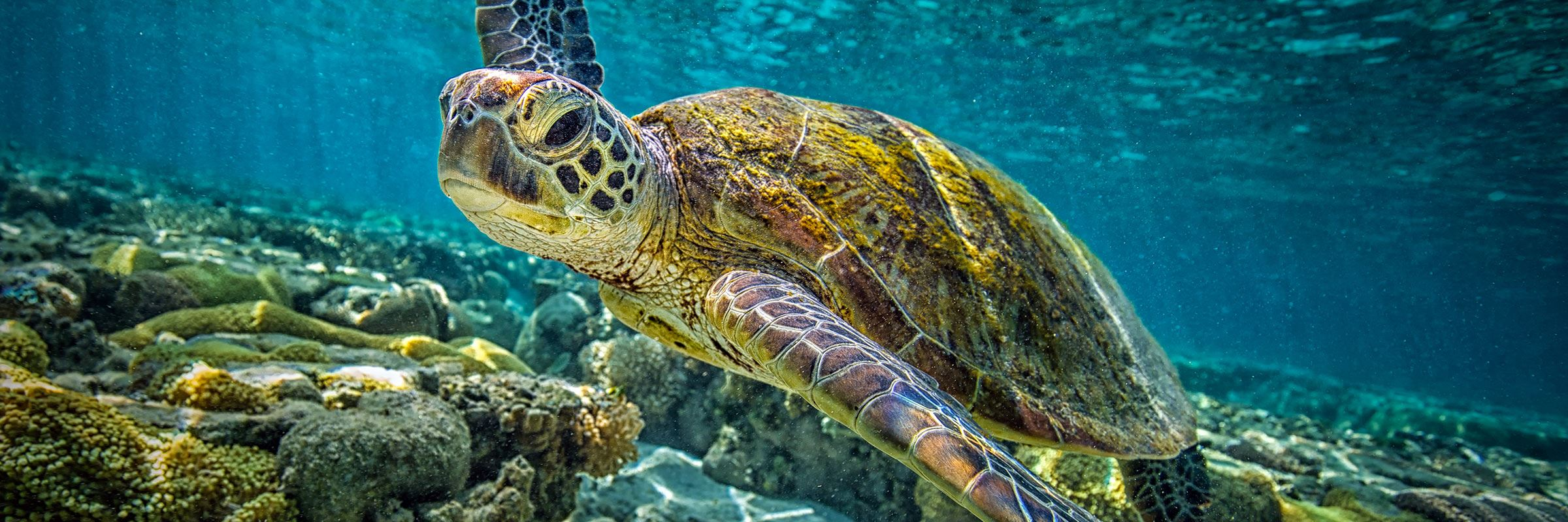 Green turtle on the Great Barrier Reef