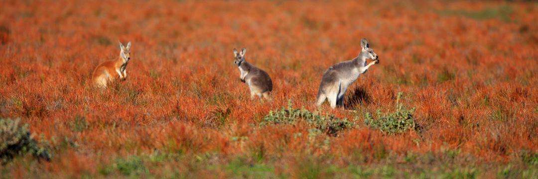 Kangaroos on the Flinders in the Outback