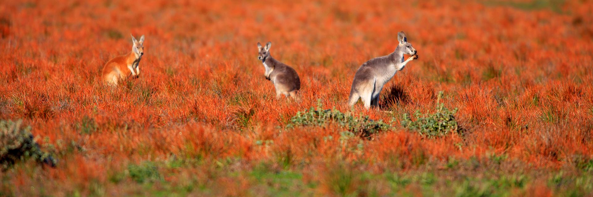 Kangaroos at Flinders Ranges, South Australia