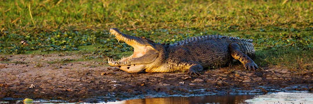 Saltwater Crocodile, Kakadu National Park
