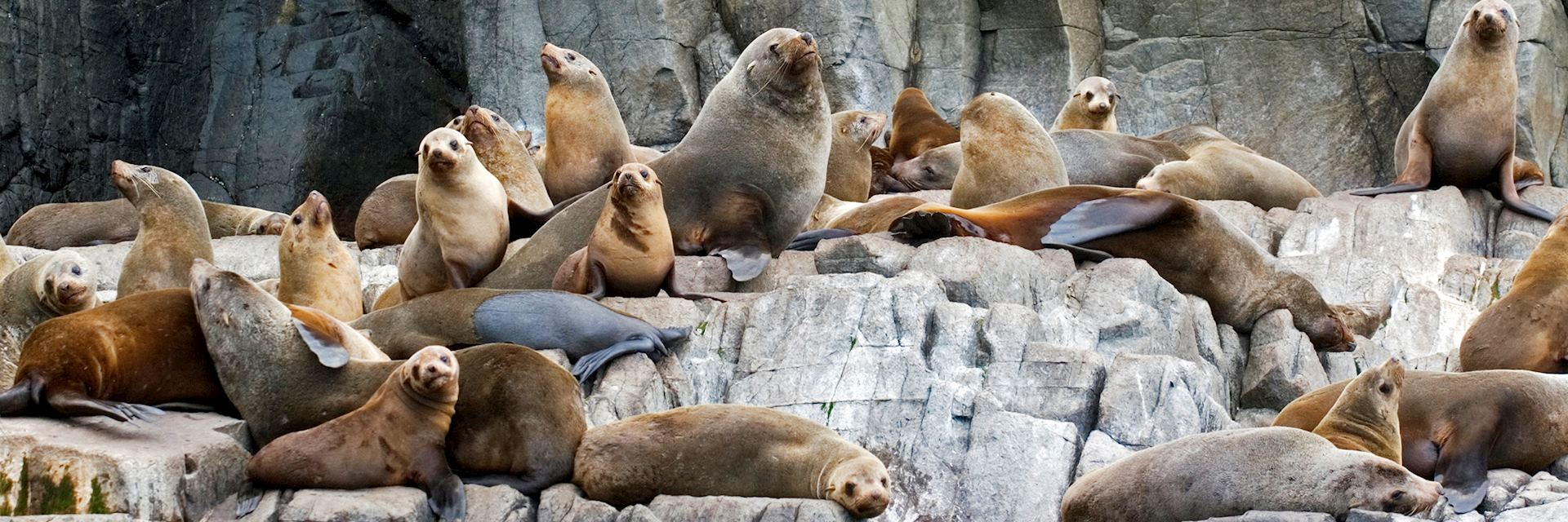 Fur seals, Bruny Island