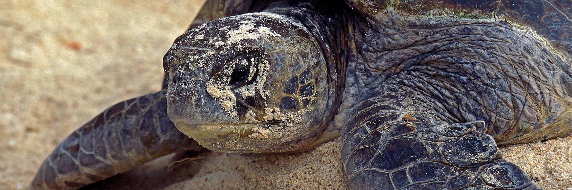 Loggerhead turtle on Wilson Island