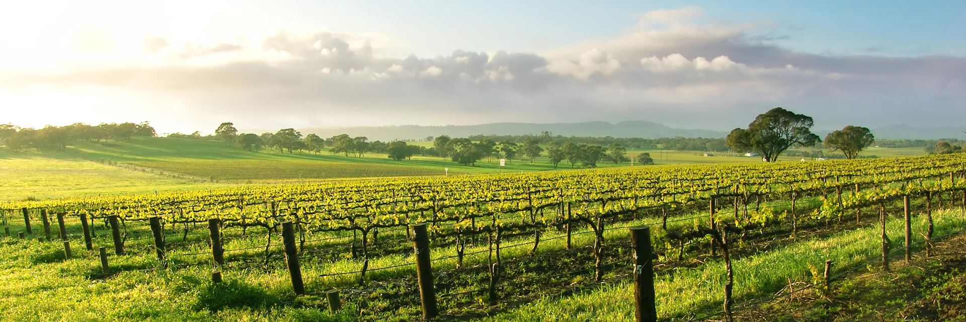 Vineyard in the Barossa Valley