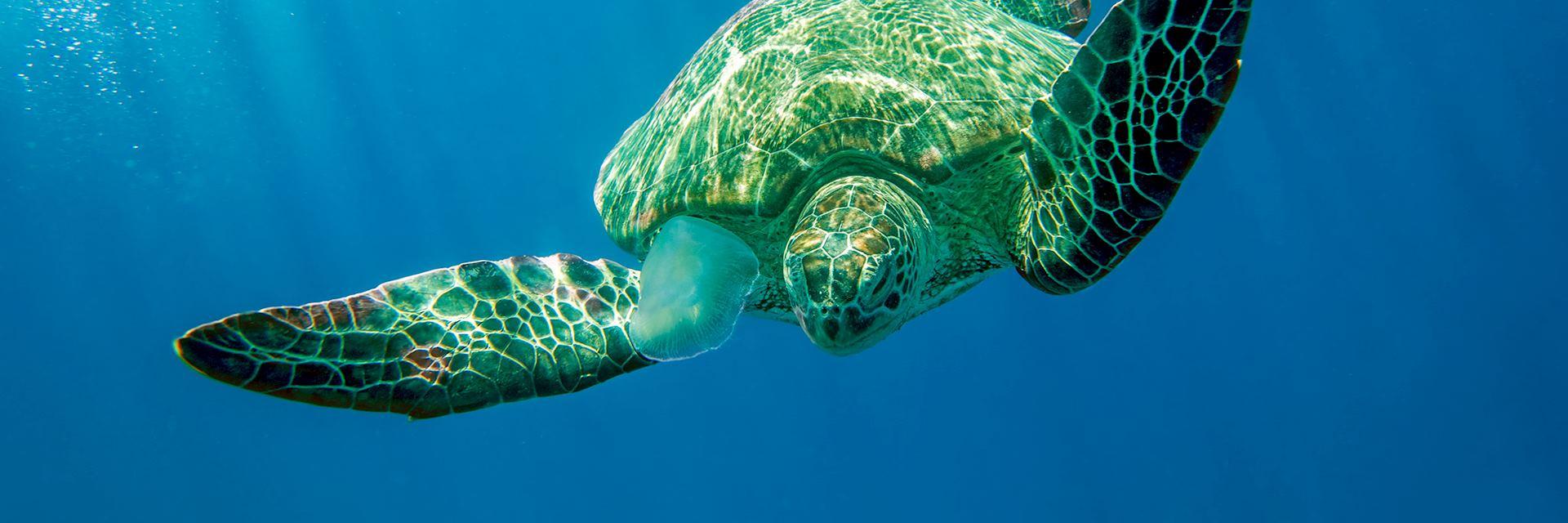 Loggerhead turtle, Cobourg Peninsula