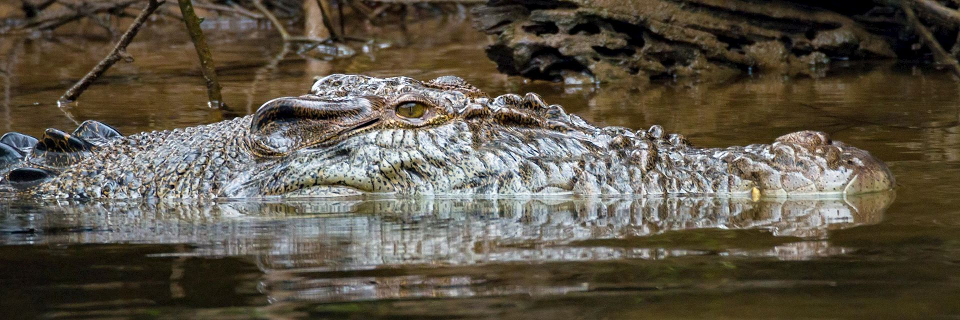 Saltwater crocodile, Daintree Forest