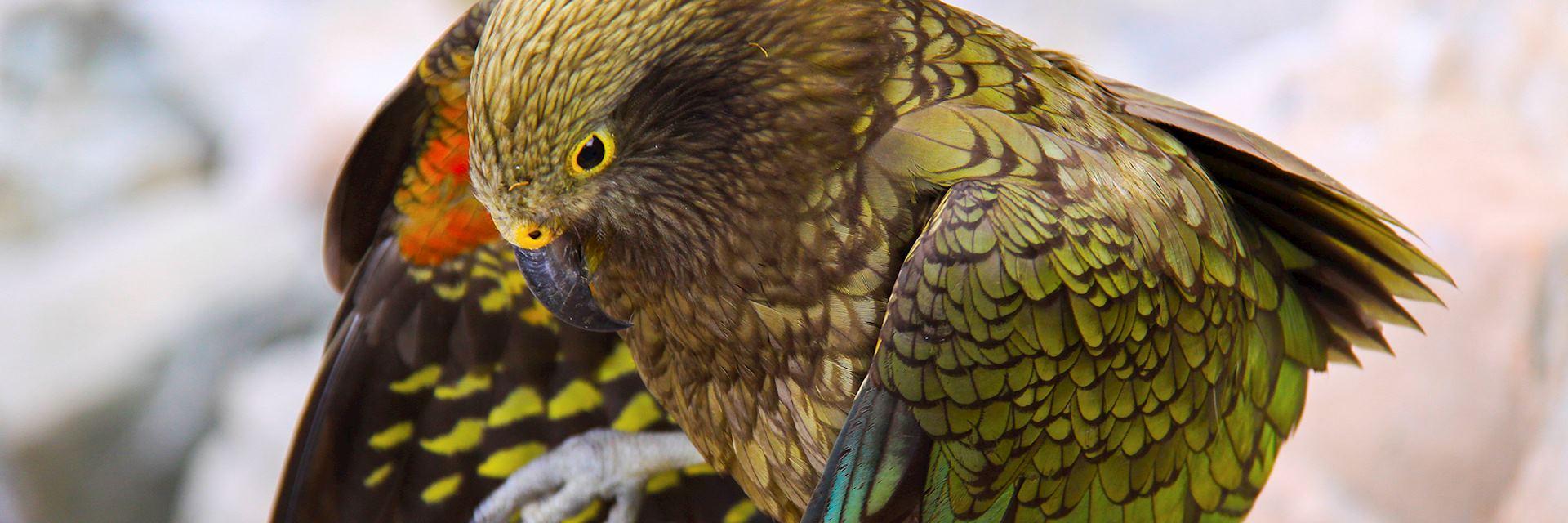 Kea Bird, Aoraki National Park