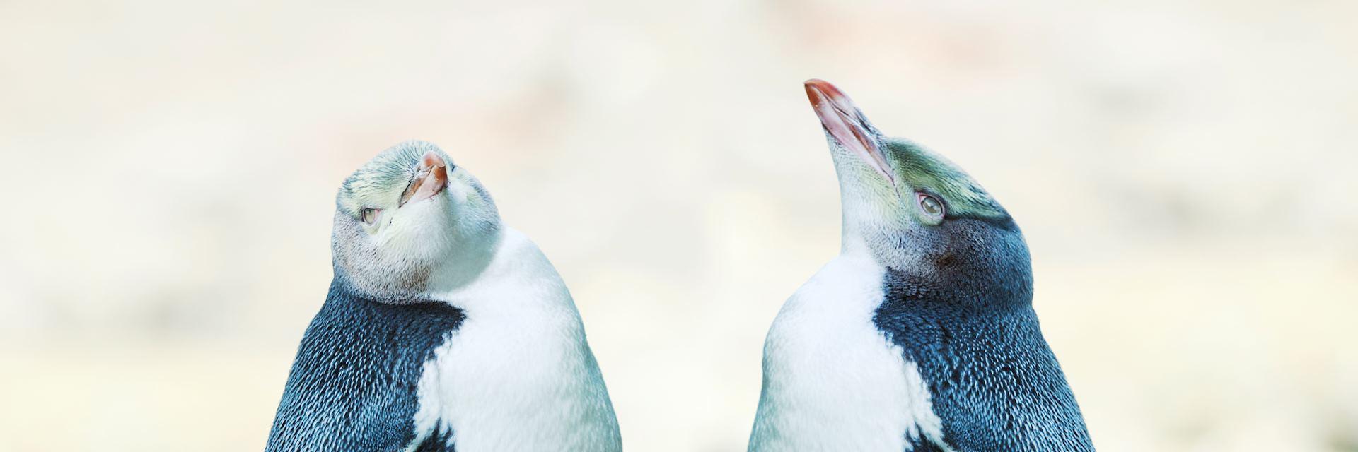 Yellow-eyed penguins, New Zealand