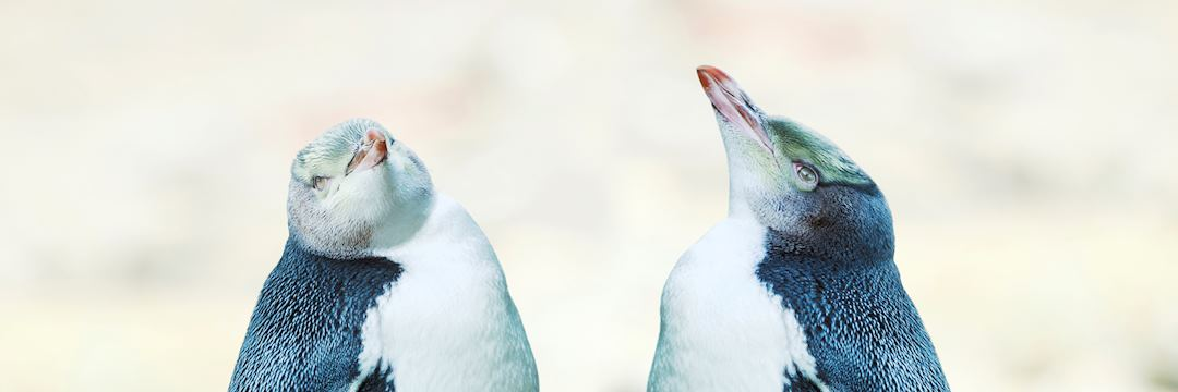 Yellow-eyed penguins, New Zealand