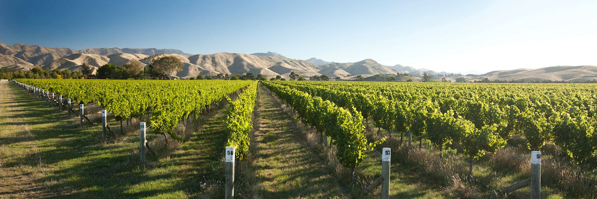 Vineyard in Marlborough, New Zealand