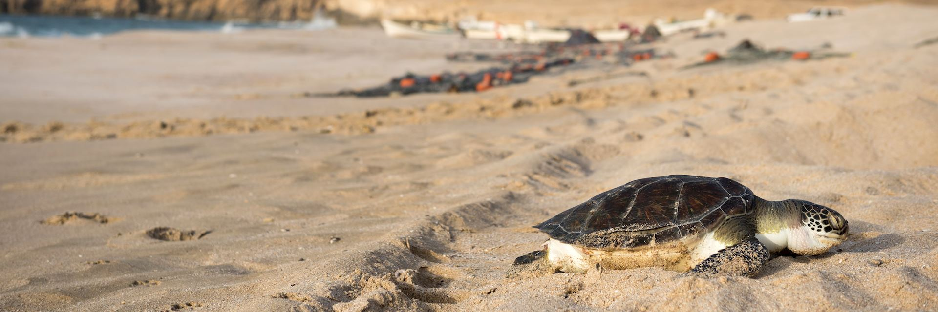 Sea turtle at Raz al Jinz