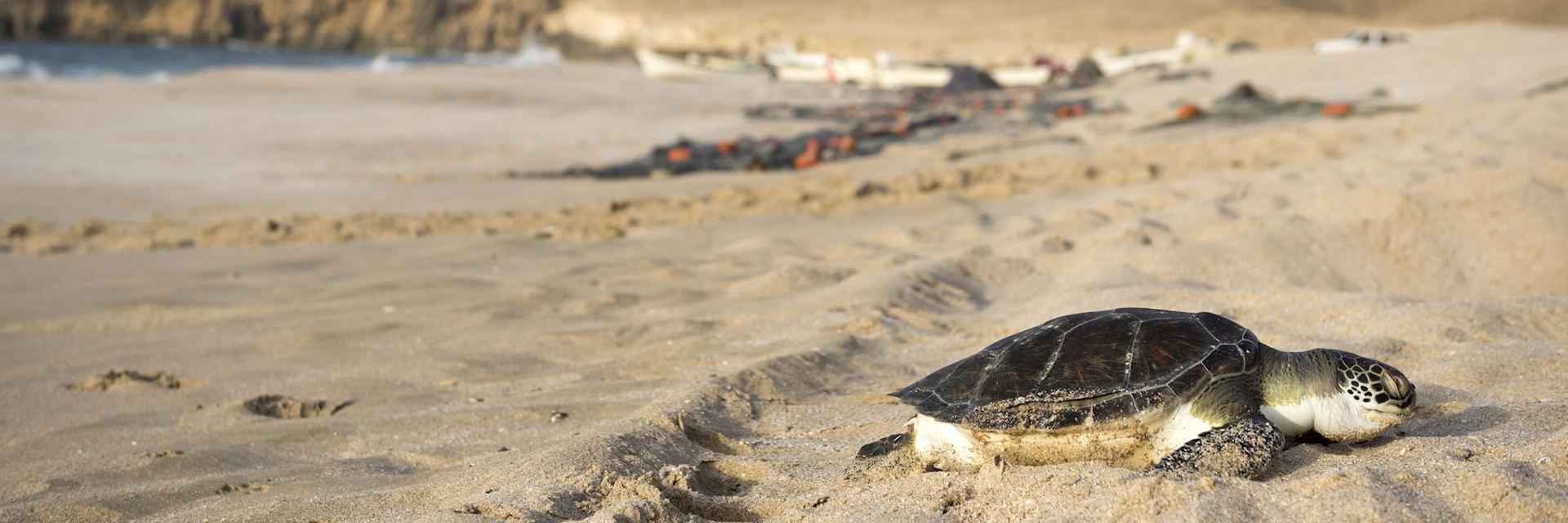 Turtle at Ras Al Jinz Turtle Reserve, Oman
