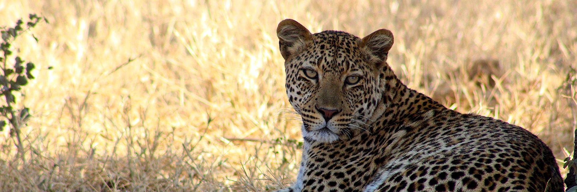 Leopard, Khwai Concession