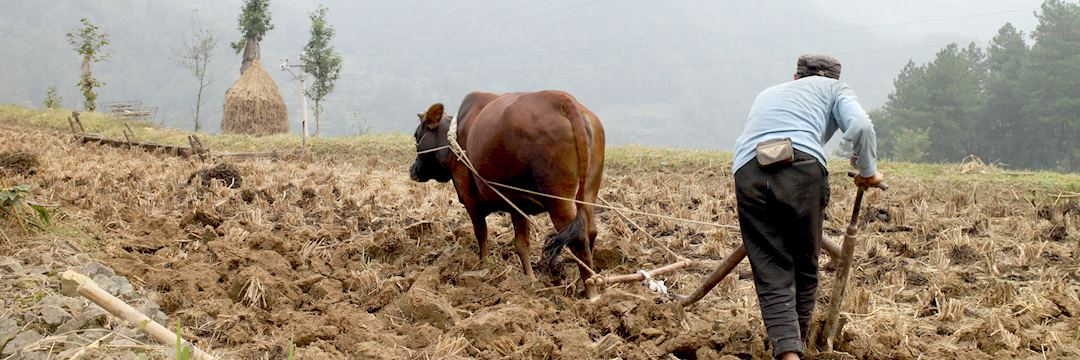 Back to basics with a buffalo and hand pushed plough in Wajiao village, Guizhou province