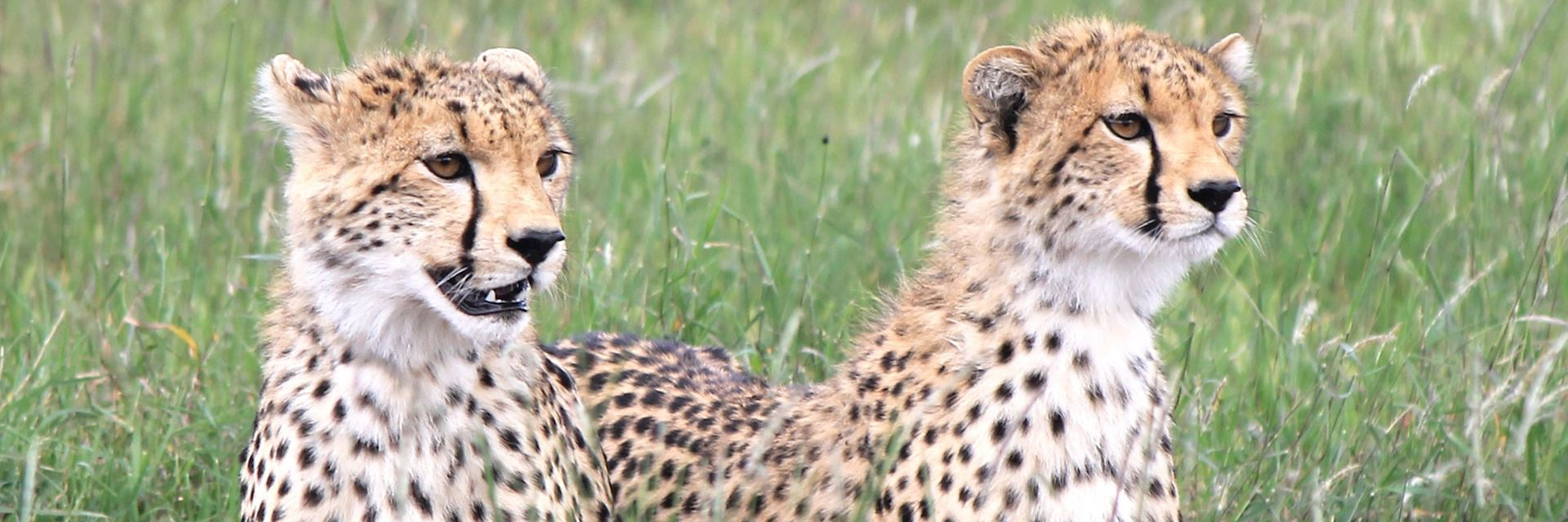 Cheetah, Lewa Conservancy, Kenya