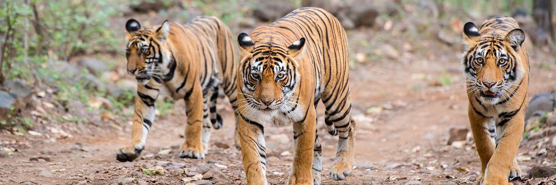 Bengal tigers, Ranthambhore National Park