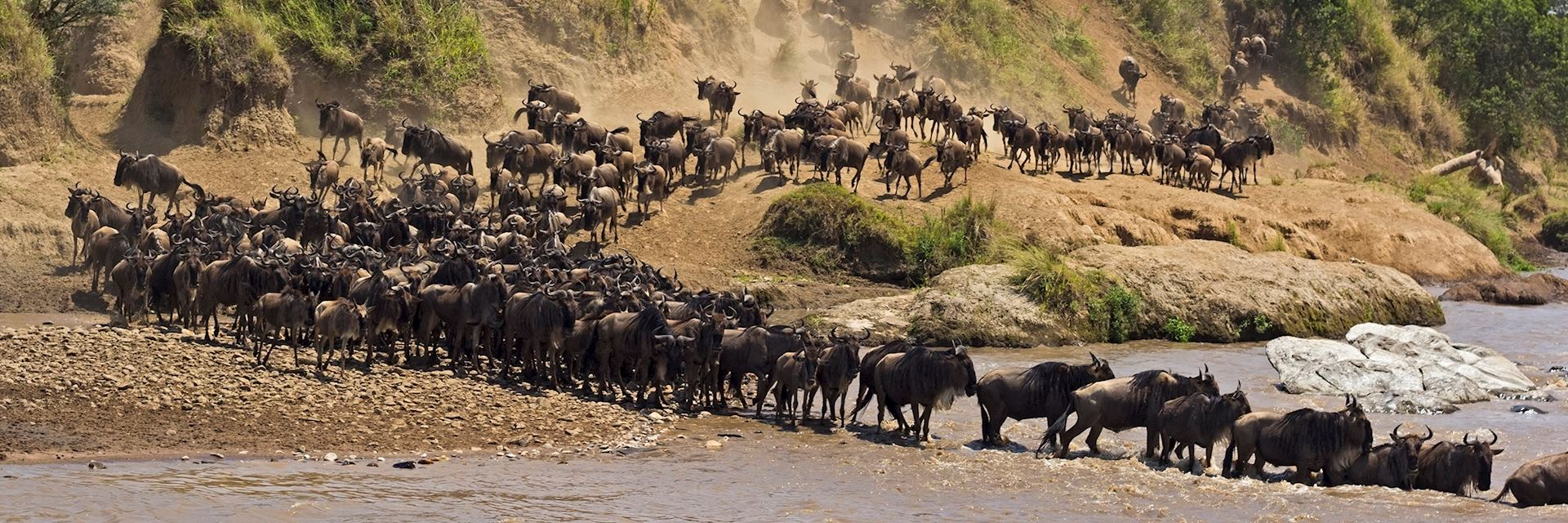 Wildebeest river crossing, Kenya