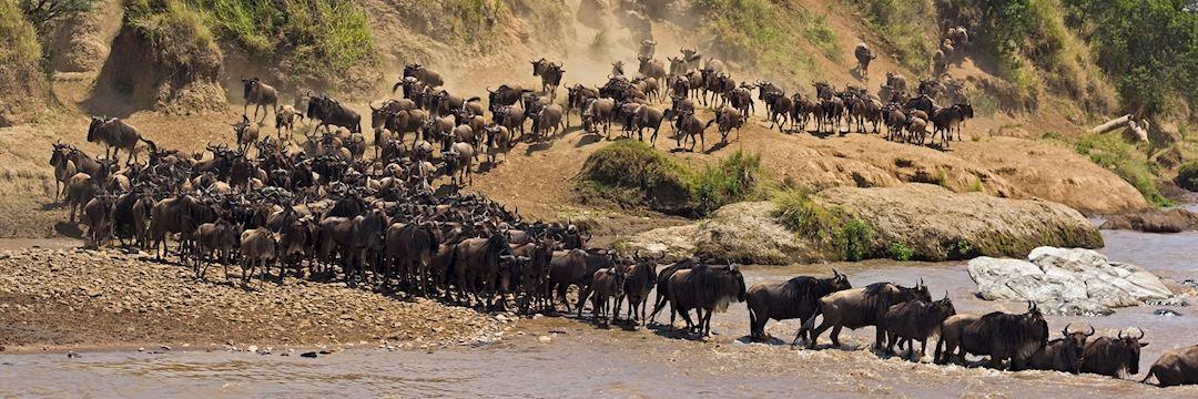Wildebeest river crossing, Kenya