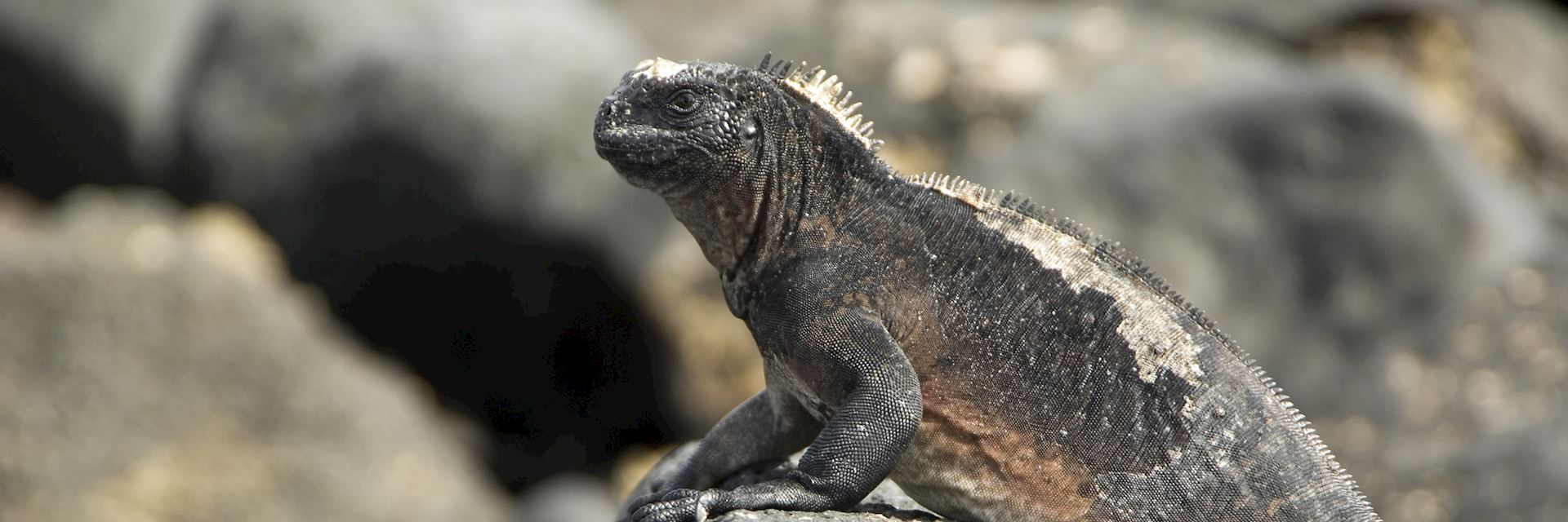 Maine iguana, Galapagos Islands