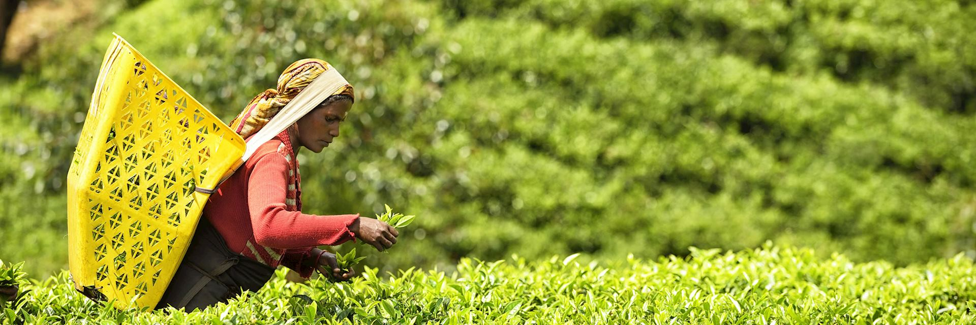 Tea picker in Nuwara Eliya, Sri Lanka