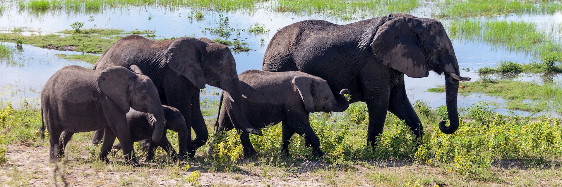 Elephant herd in Chobe National Park, Botswana