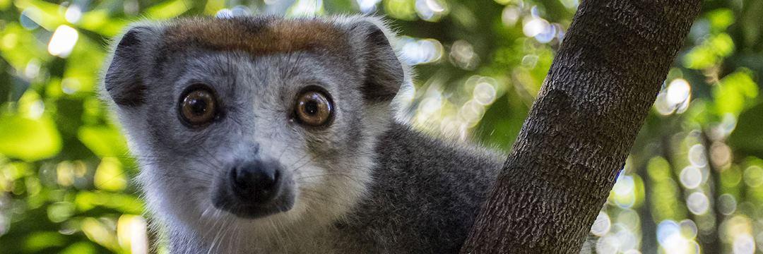 Lemur in tree, Madagascar