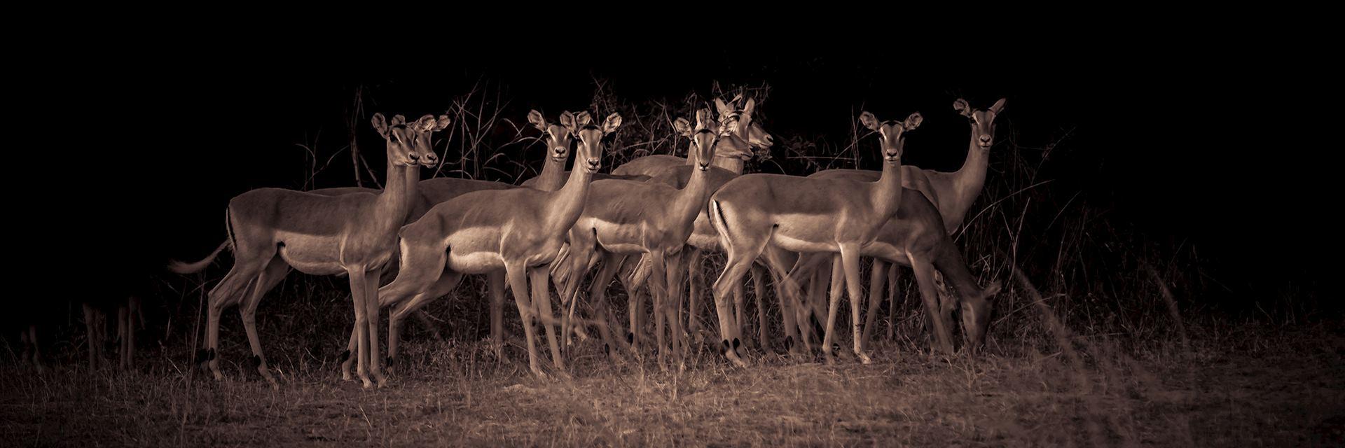 Impala, Zambia