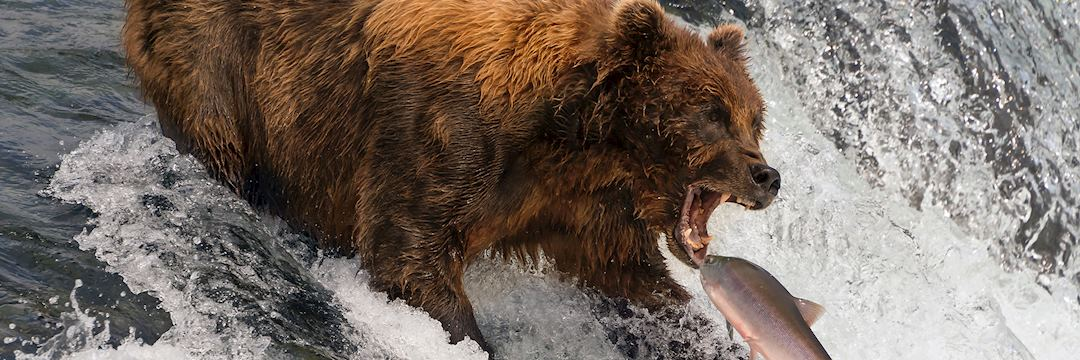 Grizzly bear, Brooks Falls, Alaska