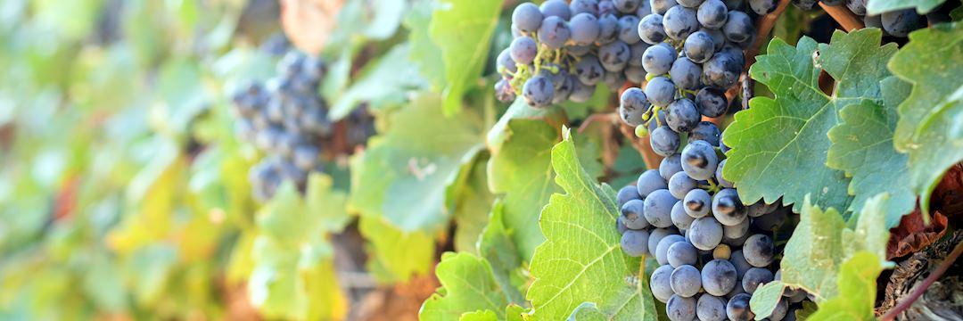 Vineyard in Stellenbosch