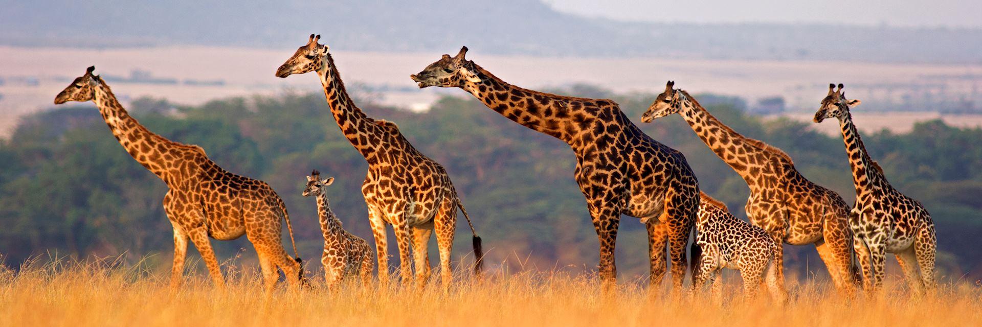 Giraffe family, Africa