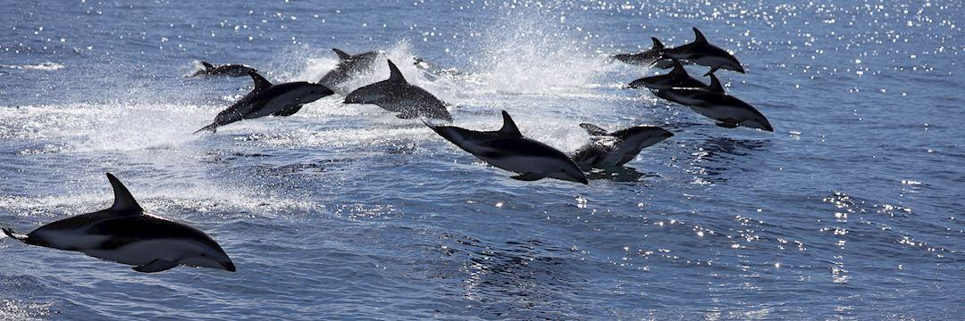 Dusky dolphin pod, Kaikoura