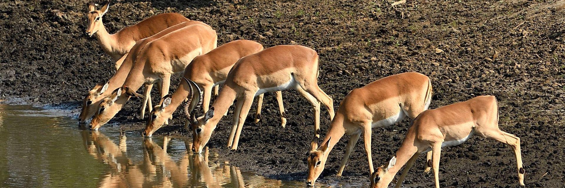 Impala, Selous Game Reserve