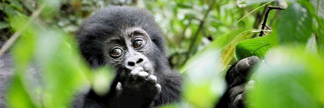 Young gorilla — © Rebecca Harvey