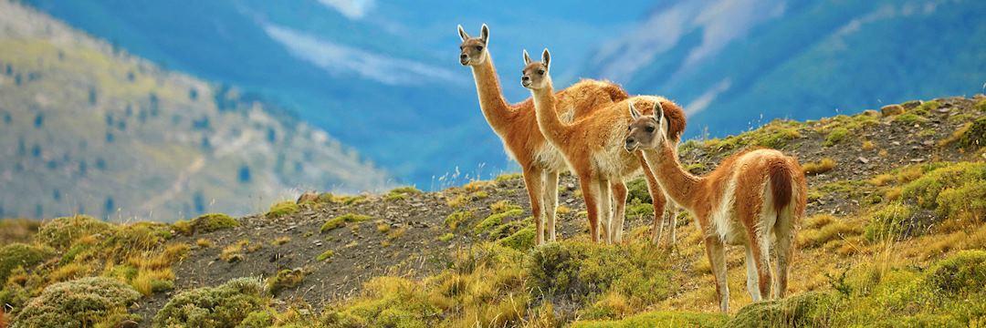 Guanacoes, Torres del Paine, Patagonia