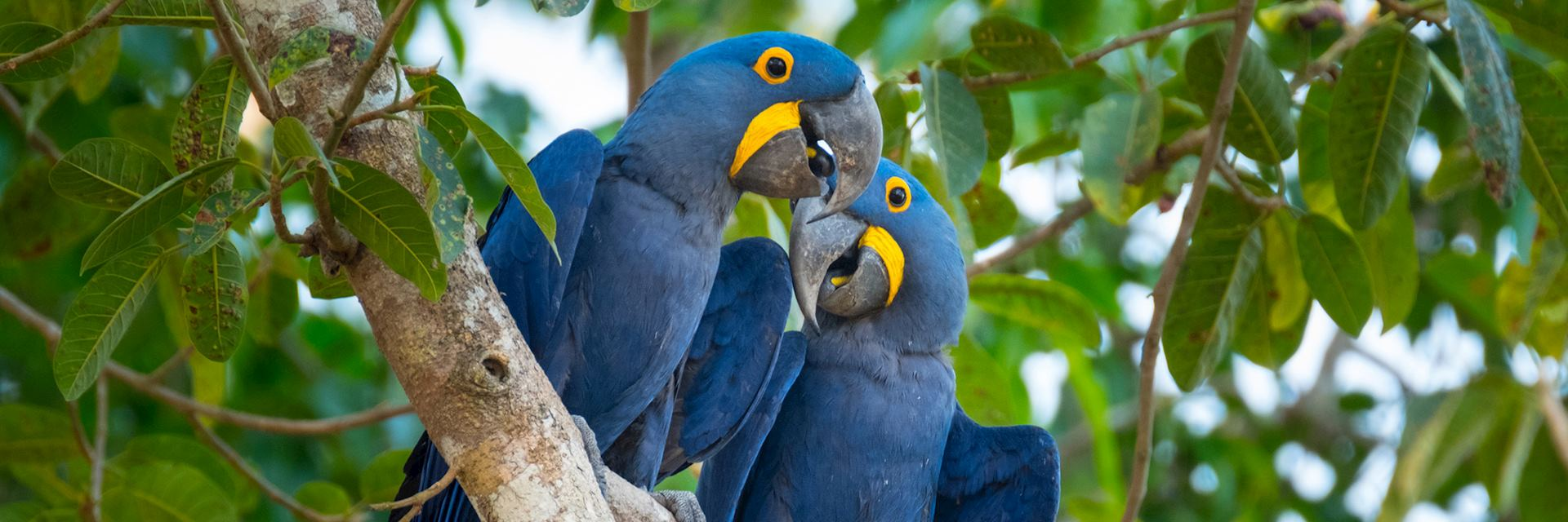 Hyacinth macaws, the Pantanal, Brazil