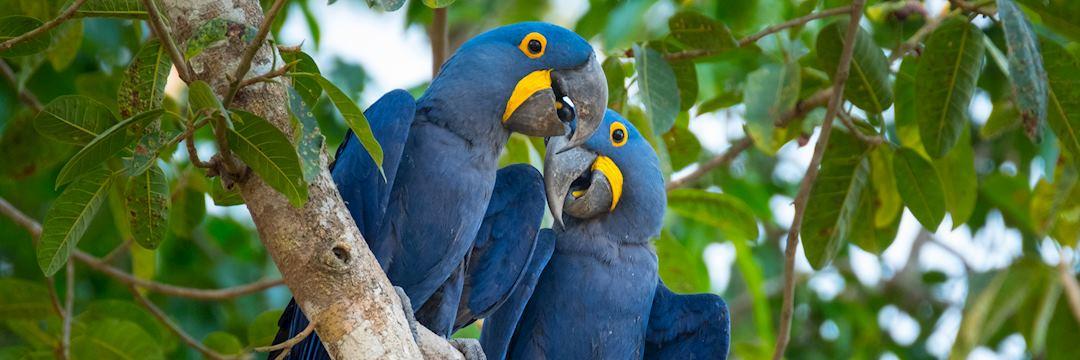 Hyacinth macaws, the Pantanal, Brazil